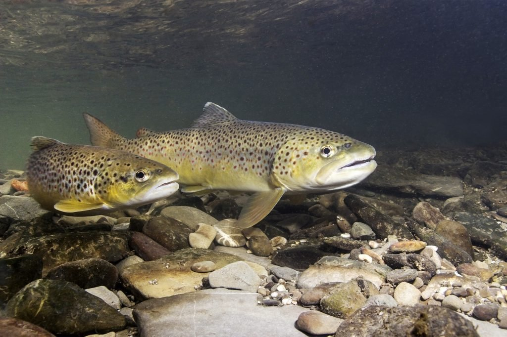 Brown trout (Salmo trutta) preparing for spawning in small creek