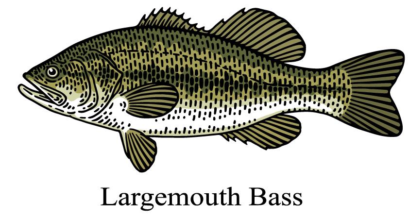 Largemouth Bass drawing