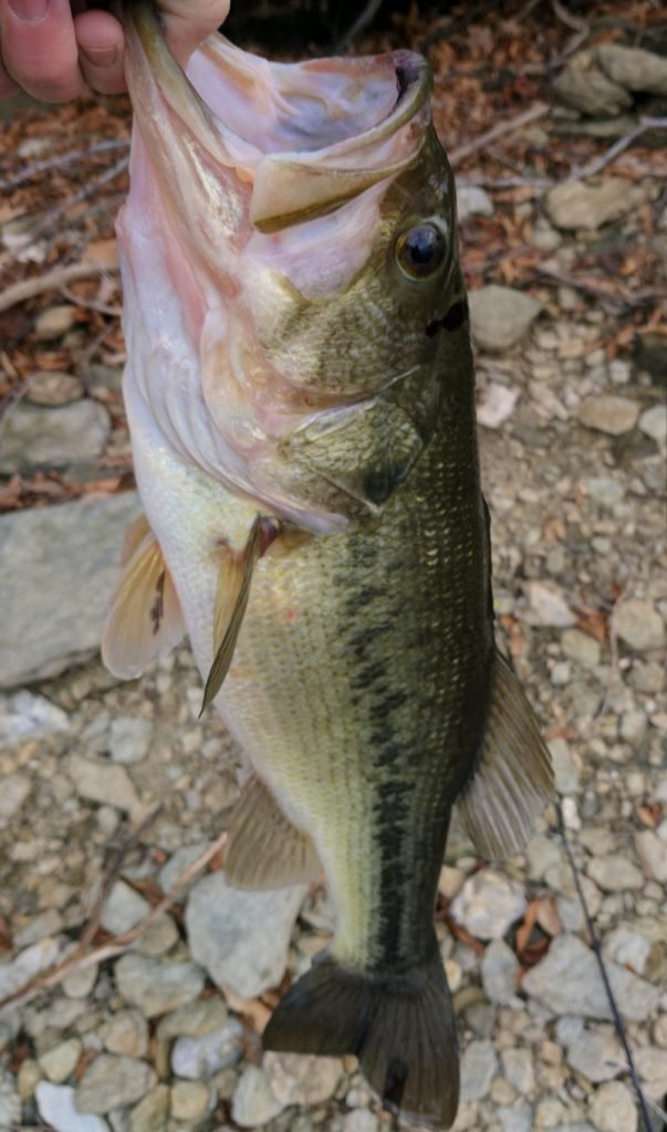 Largemouth bass caught