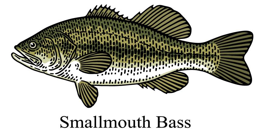 Smallmouth bass drawing