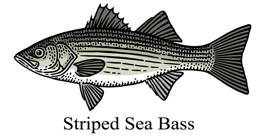 Striped Sea Bass drawing