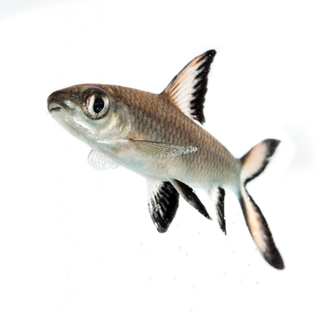 Bala Shark or Silver Shark (Balantiocheilus melanopterus)