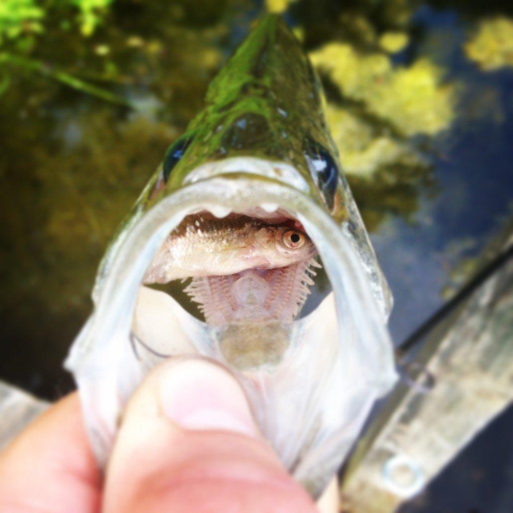 Bass eating a minnow