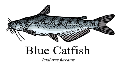 Blue catfish drawing