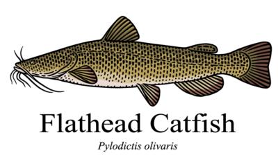 Flathead Catfish Drawing