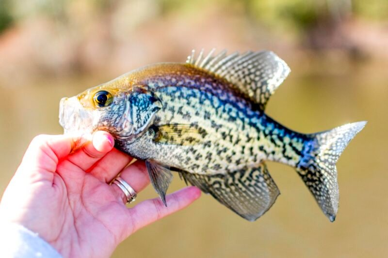 Close-up of a crappie fish caught by a fisherman