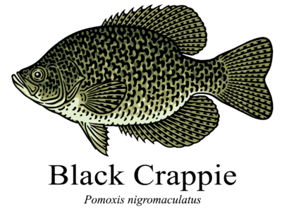 black crappie pomoxis nigromaculatus illustration