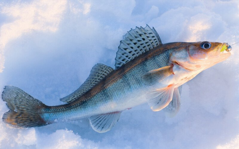 walleye caught ice fishing
