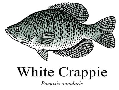 white crappie pomoxis annularis illustration