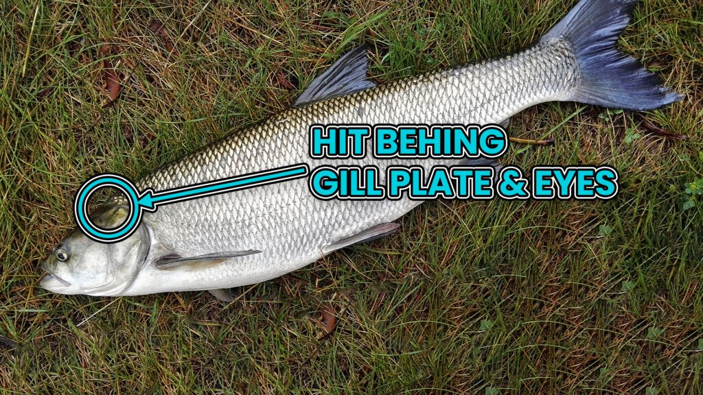 where to hit a fish to kill it humanely and fast