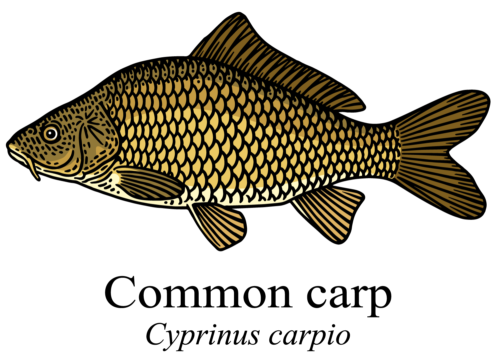 Common carp - cyprinus carpio illustration