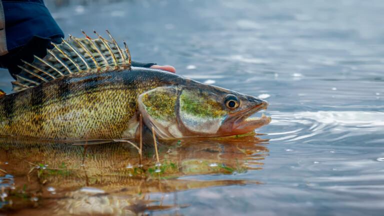 Fisherman releases a caught zander fish
