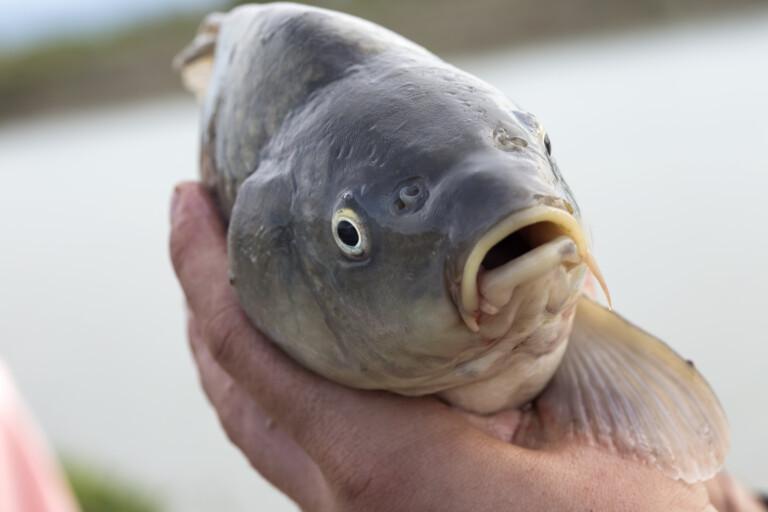 Carp fish is held in hands