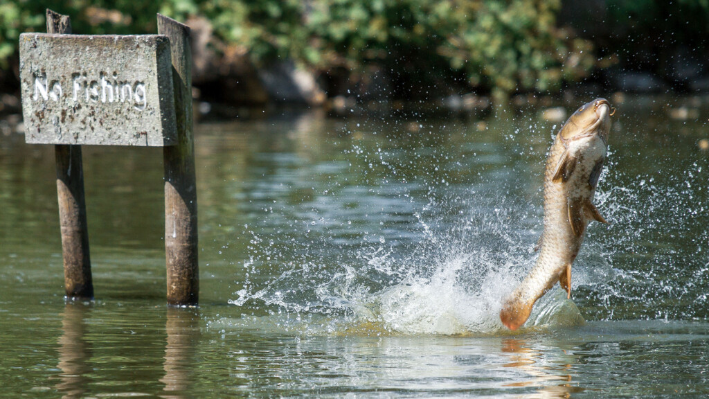 carp jumping out of the water in a no-fishing zone