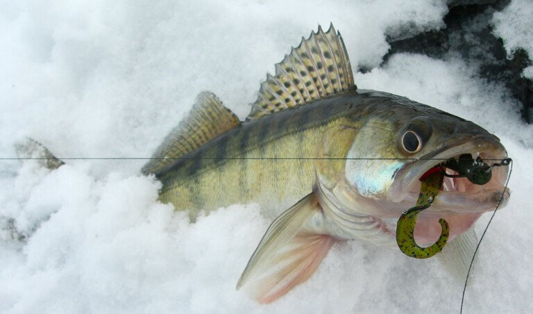 Walleye caught on drop-shot rig with green worm